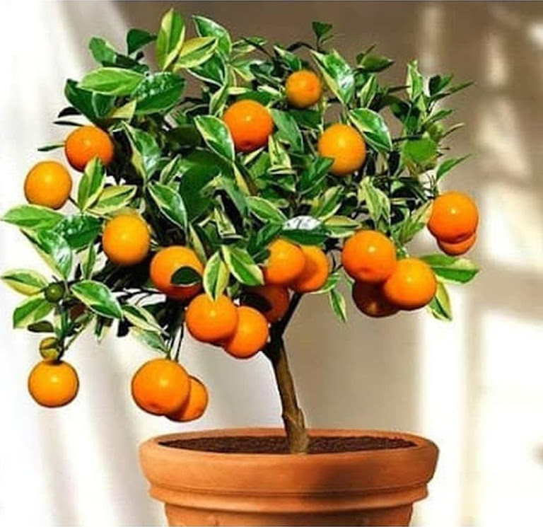 Bibit Benih Seeds Buah Jeruk Manis Mandarin Ponkam Isi 10 Biji Sumatra Selatan