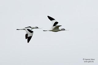 Gulipán - Recurvirostra avosetta