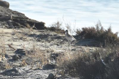Pigre gris (Pluvialis squatarola)