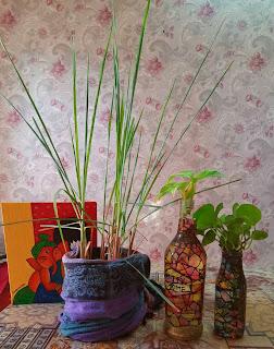 Lemongrass how to grow