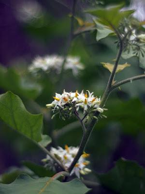 L'infiorescenza di Solanum torvum.