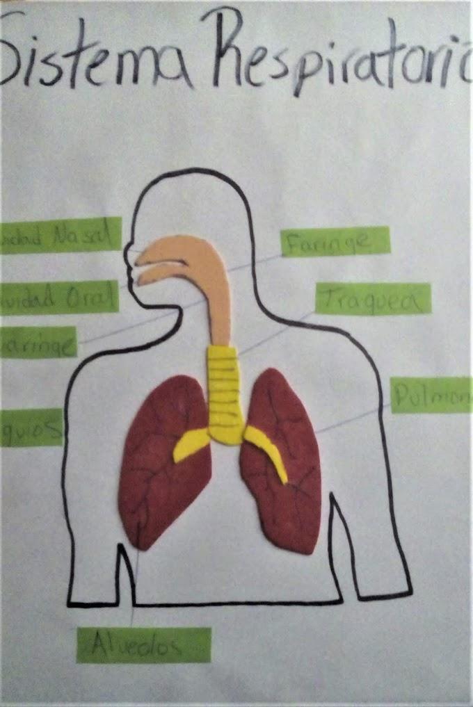 Como Hacer Una Maqueta Del Sistema Respiratorio [FACIL]
