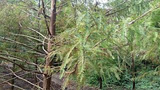 Taxodium distichum (baldcypress) tree leaves new orleans louisiana pine evergreen