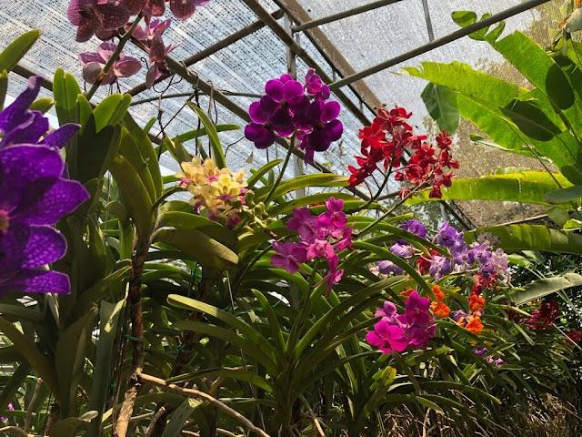 Orquídeas de Chiang Rim - Tailândia