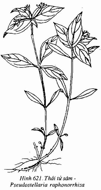 THÁI TỬ SÂM - Panax ginseng - Nguyên liệu làm Thuốc Bổ, Thuốc Bồi Dưỡng