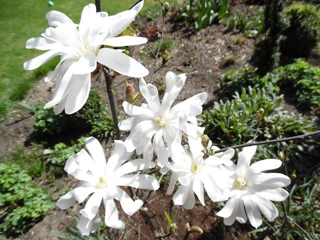 kwiaty magnolii Kikuzaki