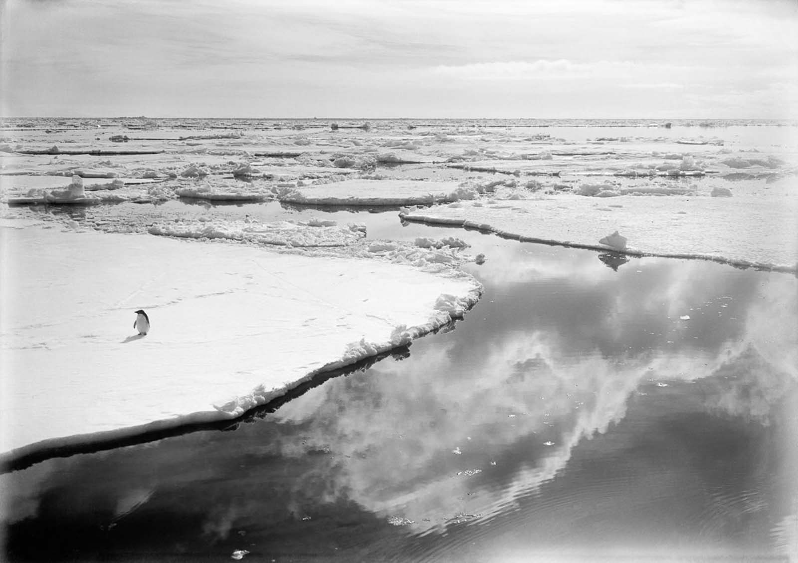 An Adélie penguin wanders across the pack ice in the Ross Dependency. 1910.