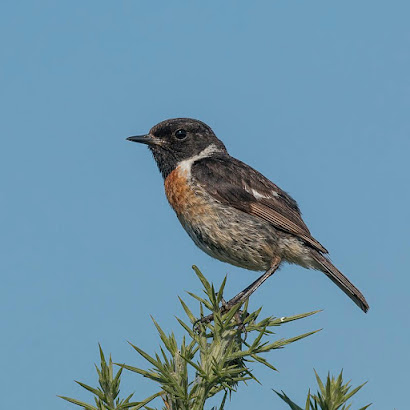 Stonechat: the answer to the first question of the quiz