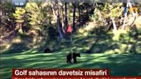 Kanadada Golf Sahasına Davetsiz Girip Bayrak Direğiyle Oynayan Ayı
