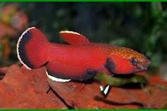 Ikan cupang asli indonesia