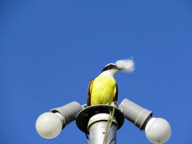 Costa Rica Itinerary: Great kiskadee building a nest