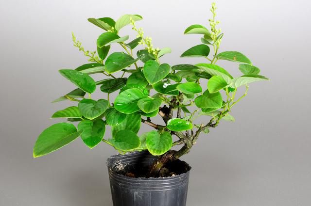 クマヤナギ-E1(熊柳盆栽)Berchemia racemosa bonsai