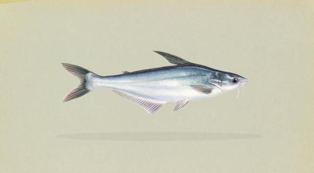 Mengenal Ikan Patin Lebih Dekat (Pangasius sp.)