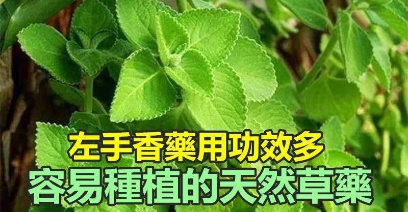 你知道嗎?這種植物叫左手香 藥用功效多 容易種植的天然草藥