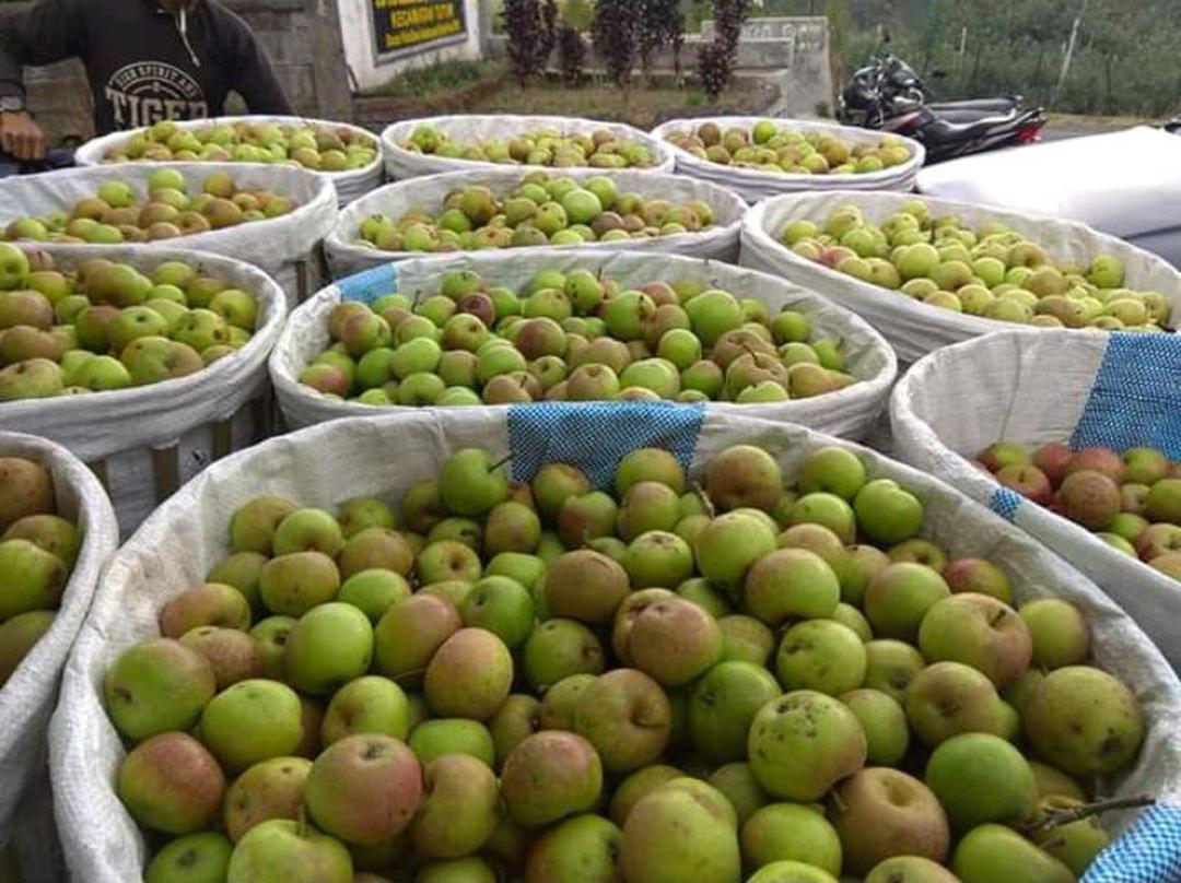 Stok melimpah! bibit apel manalagi benih pohon tanaman buah okulasi bisa untuk tabulampot taman Kota Jakarta #bibit buah genjah
