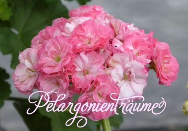 Pelargonie-Dahlienblüten-Rosenpelargonie
