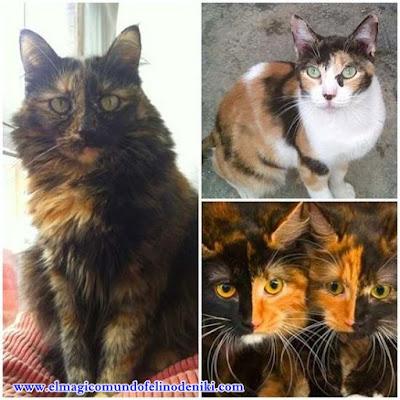 gatos-tricolor-carey-quimera-curiosidades-leyendas