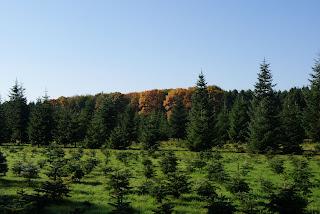 Auf einer großen, weiten Lichtung wachsen kleine Tannenbäume