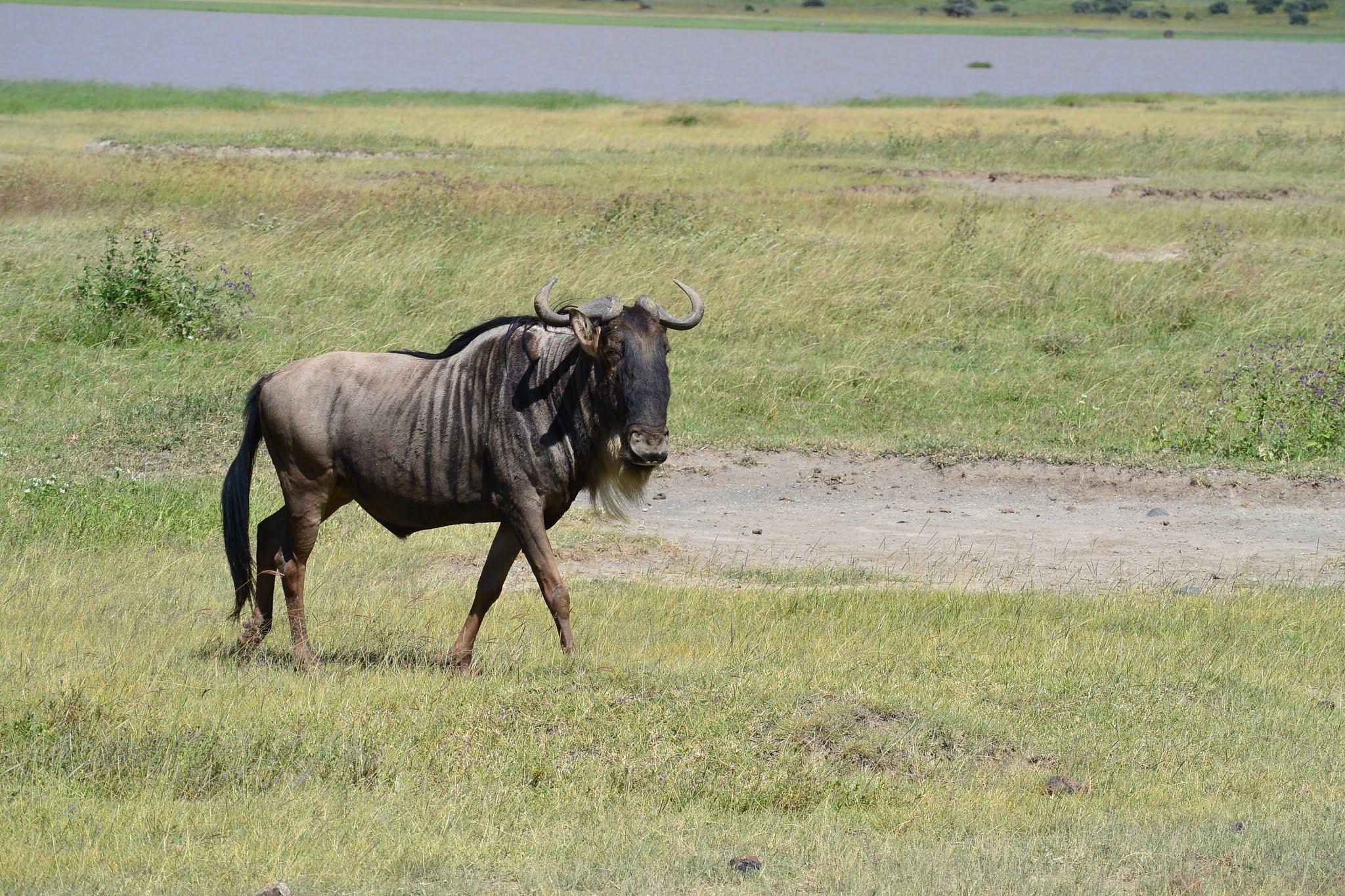 100+ Wildebeest's HD Pictures - World Fastest 4th Land Animals