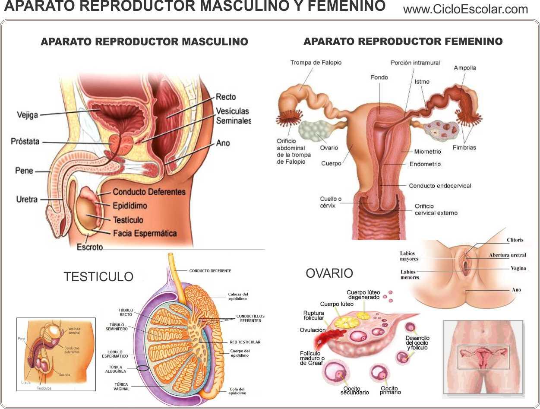 Aparato reproductor Masculino y Femenino - Monografia - Ciclo Escolar