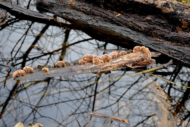 A small log, half submerged in the water, is covered with small brownish semi-circular creatures a couple of inches high. At first they look live, but upon scrutiny, they are mushrooms standing up like a dancer's fan.