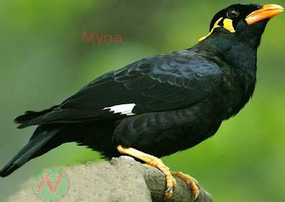 mynah bird, ময়না