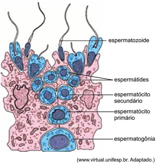 A figura esquematiza o processo da espermatogênese humana, que ocorre nos testículos (gônadas masculinas)