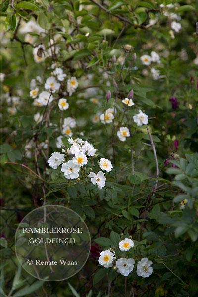 weisse Rosen - Bepflanzung Bauerngarten, Landhausgarten, Cottage Garden bepflanzen