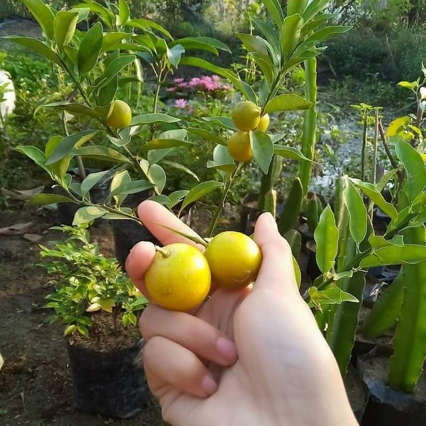 bibit jeruk tongheng superunggul Sumatra Barat