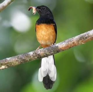 Khasiat Dan Manfaat Cicak Bagi Burung Murai Batu Yang Sudah Terbukti