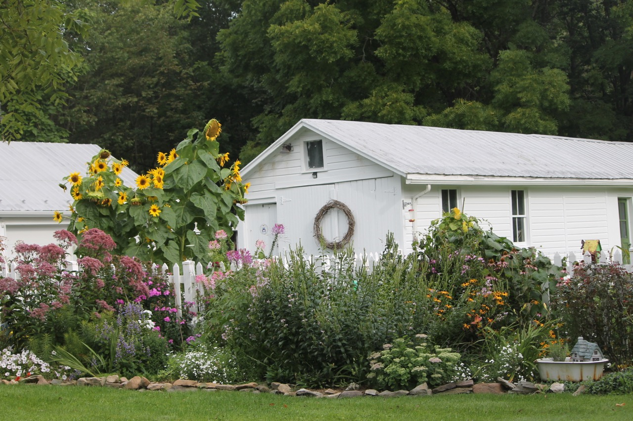 Joe Pye Weed In Front Of The Sunflower Is Covering A Sweet Shrub