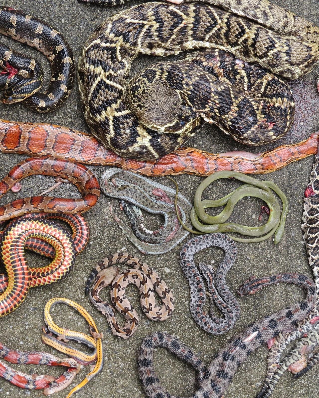 gulf hammock Gulf hammock rat snake elaphe obsoleta williamsi price for cb babies: $35-65 each below: an adult gulf hammock rat snake from our colony displaying the combination of stripes and blotches.