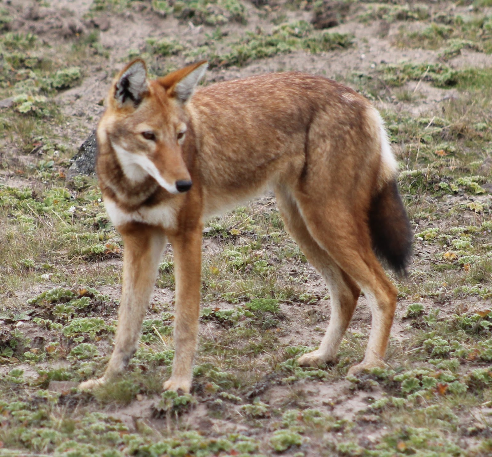 wolf ethiopian wild dog animals fox dogs species animal ethiopia canis simensis african rare endangered wikipedia wolves jackal canine found