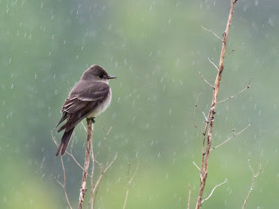 Photo of a Western Wood-Pewee sitting on a branch in the rain