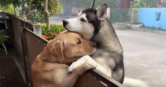 Пес постоянно убегает из своего двора, чтобы через забор обнять лучшего друга