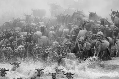 Early July Wildebeests Migration Update