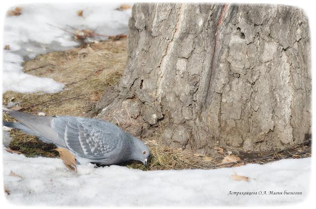 protalina-golub-sneg