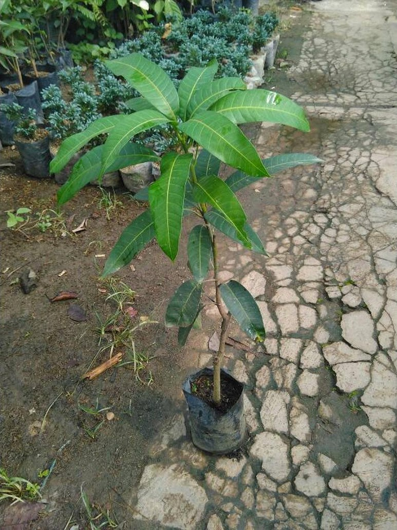 Bibit Tanaman Buah Mangga Kelapa 60cm Aceh