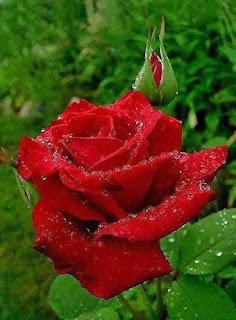 Flores: Rosas Rojas