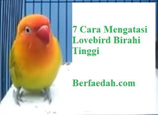 cara-mengatasi-lovebird-birahi-tinggi