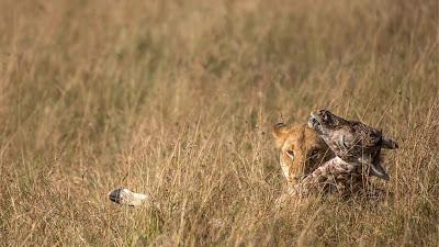 Saat singa betina memakan buruannya