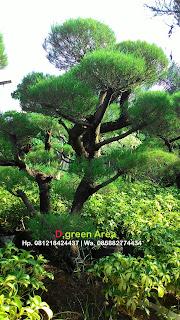 jual pohon bonsai cemara udang dengan harga murah namun kualitas bagus serta bergaransi dan berpengalaman