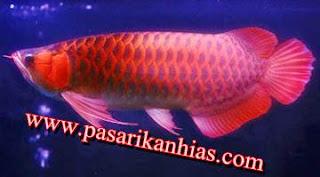 Harga Ikan Arwana Anakan Golden Red
