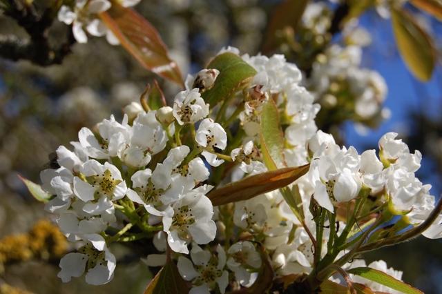bunga Pyrus Pashia