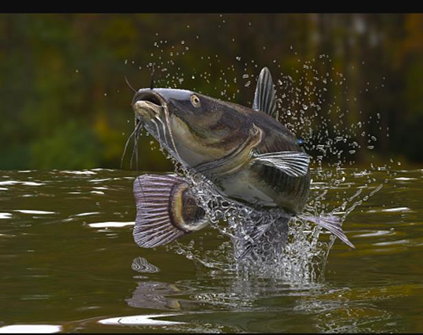 Jual Ikan Lele Konsumsi & Bibit Tanjung Pinang, Kepulauan Riau Terjangkau