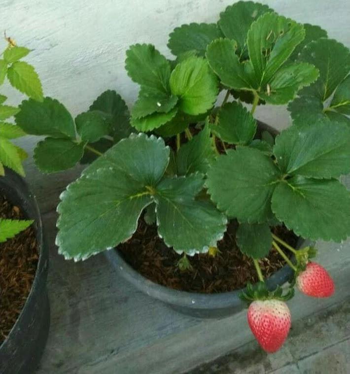 promo murah Bibit Strawberry Jumbo Holland Kepulauan Riau