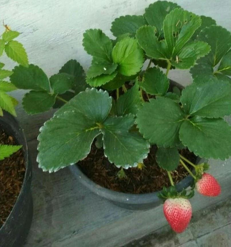 promo murah Bibit Strawberry Jumbo Holland Sibolga