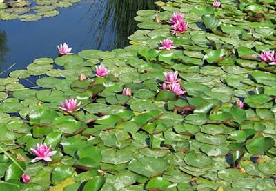 Flores rosas de Milamores o hierba de san Jorge (Centranthus ruber)