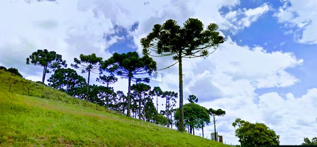 A imagem mostra algumas araucárias uma árvore em extinção no Brasil.