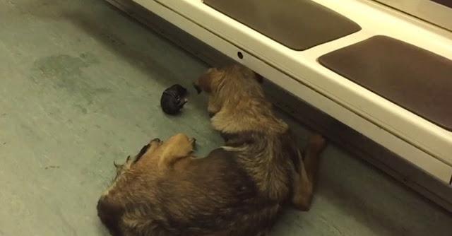 Σκύλος σκυλίτσα μόσχα γέννα